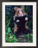 Common Hamster (Cricetus Cricetus) Posters by  Reinhard