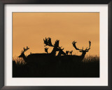 Male Fallow Deer, Silhouettes at Dawn, Tamasi, Hungary Poster by Bence Mate