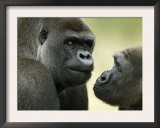 Two Western Lowland Gorillas Face to Face, UK Posters by T.j. Rich