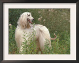 Afghan Hound Looking Back Prints by Adriano Bacchella