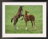 Two Thoroughbred Colt Foals, Playing, Virgina Prints by Carol Walker