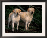 Domestic Dogs, Two Labrador Retrievers Posters by Adriano Bacchella