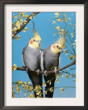 Two Cockatiels, Males (Nymphicus Hollandicus) Australia Prints by  Reinhard