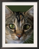 Domestic Cat, Tabby Tortoiseshell, Close-Up of Eyes with Pupils Dilated Closed in Bright Light Posters by Jane Burton
