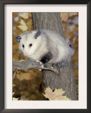 Virginia Opossum in Tree USA Posters by Lynn M. Stone