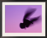 Herring Gull Flying, Norway Prints by Niall Benvie
