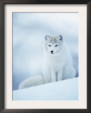 Arctic Fox Male Portrait, Norway Posters by Pete Cairns