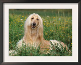 Afghan Hound Lying in Grass Prints by Adriano Bacchella