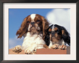 Two King Charles Cavalier Spaniel Adults on Wall Poster by Adriano Bacchella
