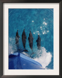 Atlantic Spotted Dolphins (Stenella Frontalis) Bowriding Bahamas Poster by Jurgen Freund