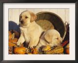 Golden Labrador Retriever Puppies, USA Posters by Lynn M. Stone