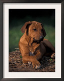 Rhodesian Ridgeback Puppy with Front Paws Crossed Posters by Adriano Bacchella
