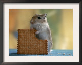 Gerbil Eating Biscuit Posters by  Steimer