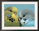 Budgerigar Pair Courting Print by Petra Wegner