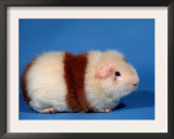 Red and White Rex Guinea Pig Poster by Petra Wegner