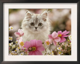 Domestic Cat, Silvertabby Kitten Among Michaelmas Dasies, Japanese Anemones and Cosmos Dasies Poster by Jane Burton