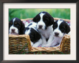 English Springer Spaniel Prints by Adriano Bacchella