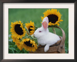 New Zealand Rabbit in Basket with Sunflowers, USA Art by Lynn M. Stone