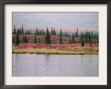 Trumpeter Swans (Cygnus Cygnus Buccinator) on Lake, Denali National Park, Alaska Print by Tom Mangelsen