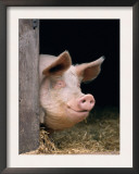 Domestic Pig Looking out of Stable, Europe Poster by  Reinhard