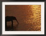 African Elephant, Drinking at Dusk, Chobe National Park, Botswana Art by Pete Oxford
