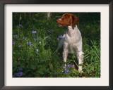 Brittany Spaniel, Domestic Gundog, USA Posters by Lynn M. Stone
