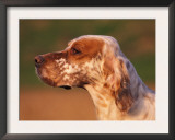 English Setter Profile Posters by Adriano Bacchella