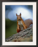 Red Squirrel on Tree Trunk, Scotland Art by Niall Benvie