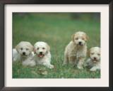 Four Lagotta Romagnolo Puppies Prints by Adriano Bacchella