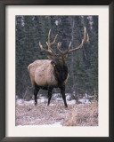Elk Deer Stag in Snow, Jasper National Park, Canada Posters by Lynn M. Stone