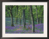 Bluebells Flowering in Oak Wood, Scotland, Peduncluate Oaks (Quercus Robur) Poster by Niall Benvie