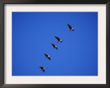 Five White Fronted Geese in Formation Flight, Estonia Prints by Niall Benvie