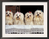 Domestic Dogs, Four Maltese Dogs Sitting in a Row, All with Bows in Their Hair Prints by Adriano Bacchella