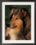 Rough Collie Portrait Print by Adriano Bacchella