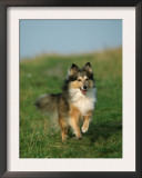 Sheltie / Shetland Sheepdog Running Prints by Petra Wegner