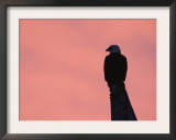 American Bald Eagle Silhouette at Sunrise, Alaska Poster by Rolf Nussbaumer