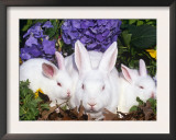 Domestic New Zealand Rabbits, Amongst Hydrangeas, USA Prints by Lynn M. Stone