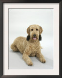 Standard Poodle Dog at Rest Posters by Petra Wegner