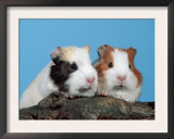 Two Young Guinea Pigs Prints by Petra Wegner