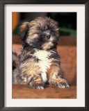 Lhasa Apso Puppy Portrait Posters by Adriano Bacchella