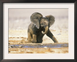 African Elephant Calf on Knees by Water, Kaokoland, Namibia Posters by Tony Heald