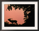 Red Deer Stag Calling at Sunset, New Forest, Hampshire, England Poster by Laurent Geslin