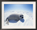 Harp Seal Pup on Ice, Magdalen Is, Canada, Atlantic Posters by Jurgen Freund