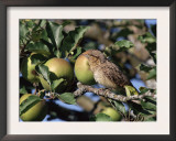 European Wryneck in Apple Tree, Switzerland Prints by Rolf Nussbaumer