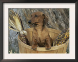 Smooth Haired Dachshund Dog (Canis Familiaris) Prints by Lynn M. Stone