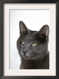 Domestic Cat, Russian Blue Female Posters by Jane Burton