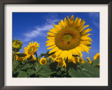 Sunflowers, Illinois, USA Prints by Lynn M. Stone
