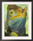 Portrait of Male Parson's Chameleon, Ranomafana National Park, South Eastern Madagascar Posters by Nick Garbutt