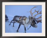 Reindeer Pulling Sledge, Stora Sjofallet National Park, Lapland, Sweden Art by Staffan Widstrand