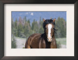 Wild Horse, Bay Stallion Cantering Portrait, Pryor Mountains, Montana, USA Prints by Carol Walker